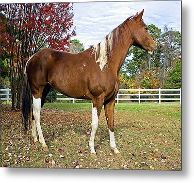 Metal Print featuring the photograph Paint Horse by Alan Raasch