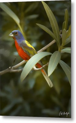 Painted Bunting Male Metal Print by Phill Doherty