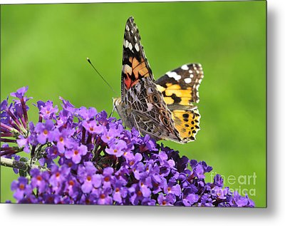 Painted Lady Butterfly On A Buddleia Metal Print by Andy Smy