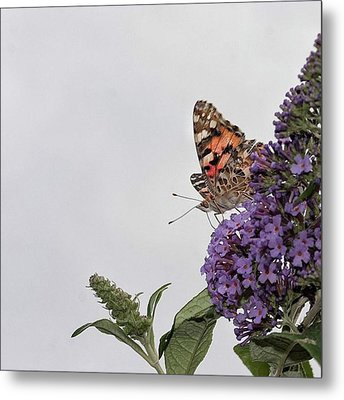 Painted Lady (vanessa Cardui) Metal Print by John Edwards