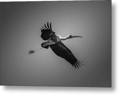 Painted Stork In Flight - Bw Metal Print