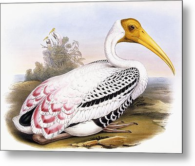 Painted Stork Metal Print by John Gould