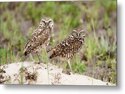 Pair Of Burrowing Owls Metal Print