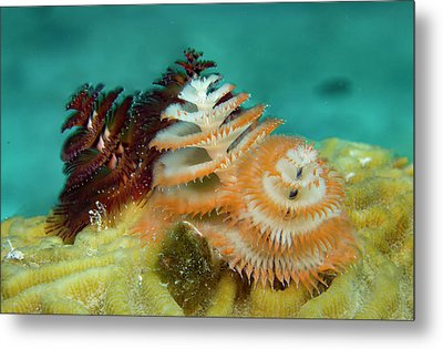 Metal Print featuring the photograph Pair Of Christmas Tree Worms by Jean Noren