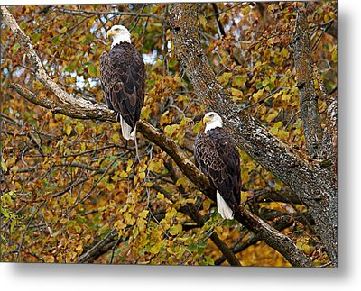 Pair Of Eagles In Autumn Metal Print by Larry Ricker