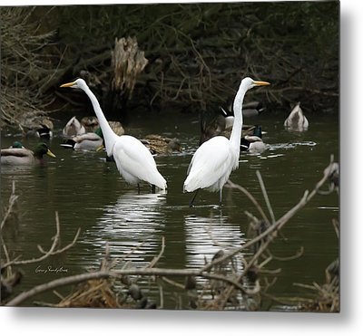 Metal Print featuring the photograph Pair Of Egrets by George Randy Bass