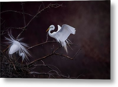 Pair Of Egrets Metal Print