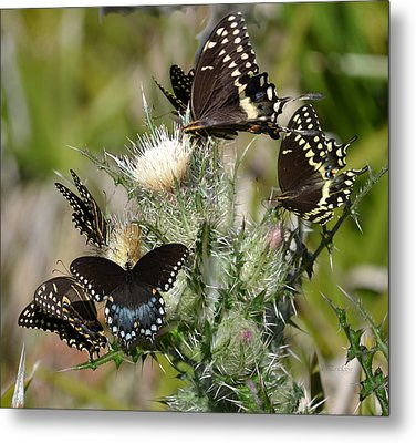 Palamedes Swallowtail Butterfly Metal Print