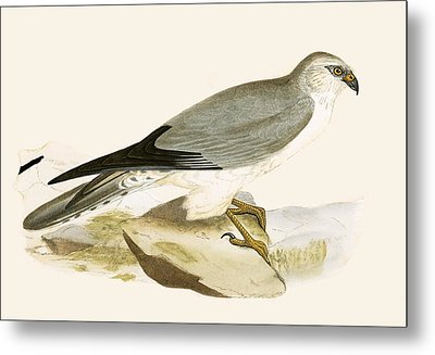 Pale Chested Harrier Metal Print by English School