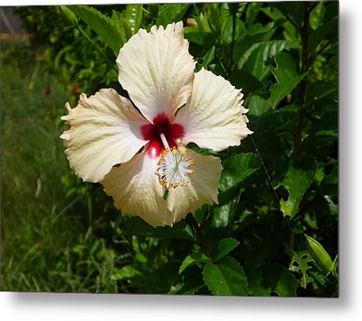 Pale Hibiscus Metal Print by Pat Archer