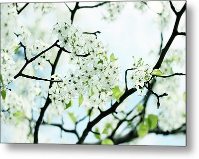 Metal Print featuring the photograph Pale Pear Blossom by Jessica Jenney