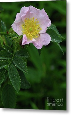 Metal Print featuring the photograph Pale Pink And Wild by Deborah Johnson