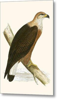 Pallas's Sea Eagle Metal Print by English School