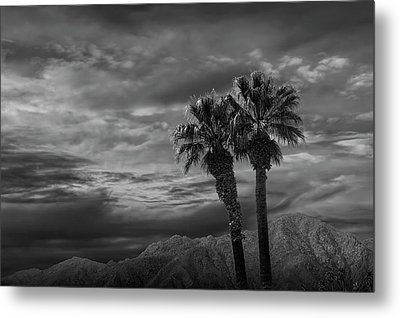 Metal Print featuring the photograph Palm Trees By Borrego Springs In Black And White by Randall Nyhof