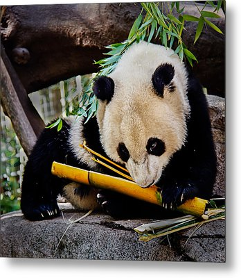 Panda Bear Metal Print by Robert Bales