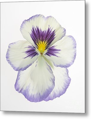 Pansy 2 Metal Print by Tony Cordoza