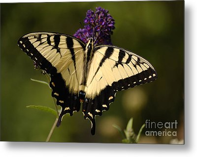 Papilio Yellow Metal Print by Randy Bodkins