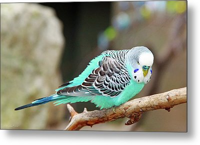 Parakeet  Metal Print by Inspirational Photo Creations Audrey Woods