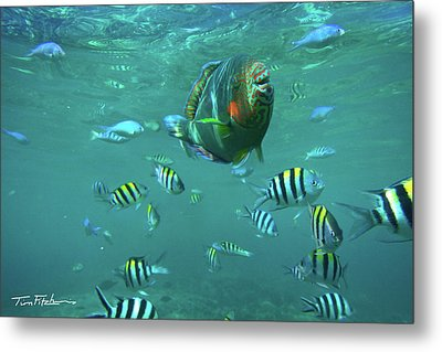 Parrot Fish Metal Print by Tim Fitzharris