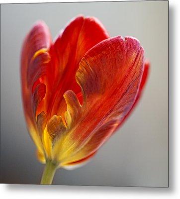 Parrot Tulip 9 Metal Print by Robert Ullmann