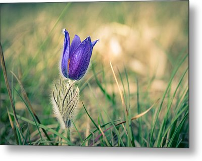 Pasque Flower Metal Print by Andreas Levi
