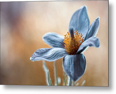 Pasque Metal Print by Mandy Disher