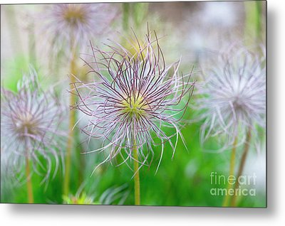 Metal Print featuring the photograph  Pasqueflower Seed Heads by Tim Gainey