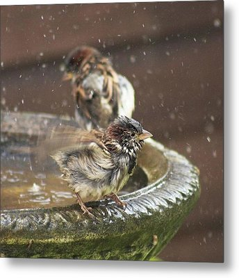 Pass The Towel Please: A House Sparrow Metal Print by John Edwards