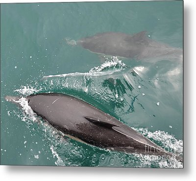Passing Dolphins Metal Print by Timothy OLeary