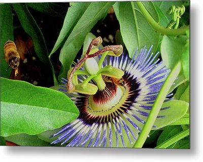 Passion Flower Metal Print