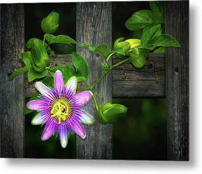 Passion Flower On The Fence Metal Print by Carolyn Derstine