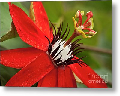 Passionate Flower Metal Print by Heiko Koehrer-Wagner