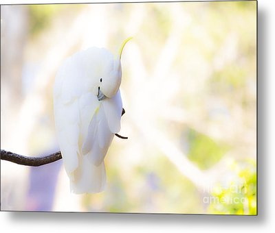 Pastel Cockatoo Metal Print by Avalon Fine Art Photography