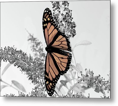 Metal Print featuring the photograph Pastel Monarch On Black And White by Lara Ellis