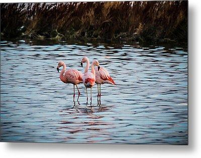 Patagonia Flamingoes Metal Print