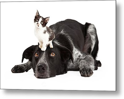 Patient Border Collie With Little Kitten On Head Metal Print