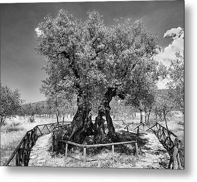 Patriarch Olive Tree Metal Print by Alan Toepfer