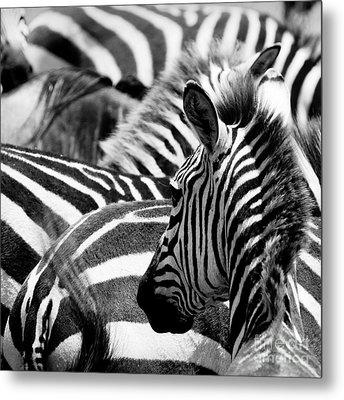 Pattern Of Zebras Metal Print
