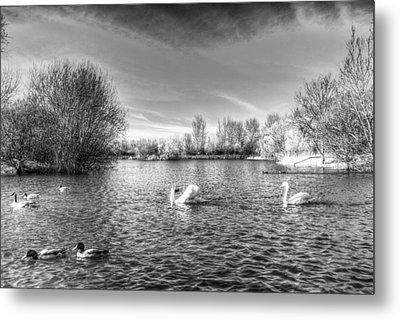 Peaceful Swan Lake Metal Print by David Pyatt