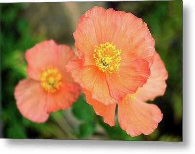 Metal Print featuring the photograph Peach Poppies by Sally Weigand