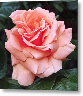 Peach Rose Metal Print by Rona Black