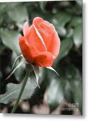 Peachy Rose Metal Print by Rand Herron