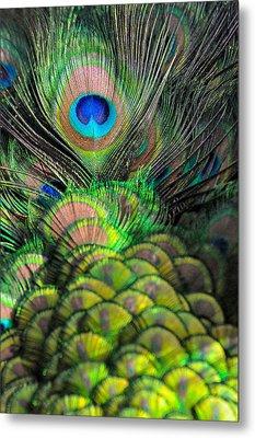Peacock Brilliance Metal Print by Emilia Brasier