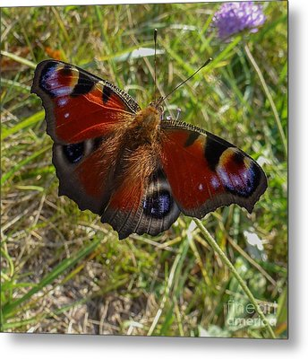 Metal Print featuring the photograph Peacock Butterfly by Jean Bernard Roussilhe