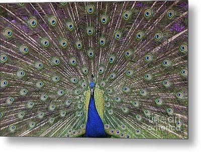 Peacock Display Metal Print by Tim Gainey