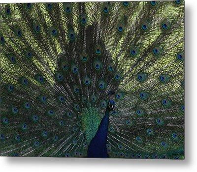 Peacock Eyes Metal Print by Michelle Miron-Rebbe