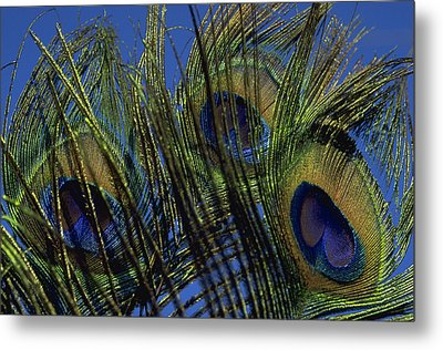 Peacock Feathers Metal Print by Michael Mogensen