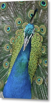 Metal Print featuring the photograph Peacock by Matthew Bamberg