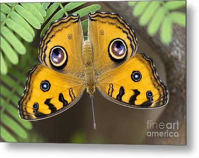 Peacock Pansy Butterfly Metal Print by Tim Gainey