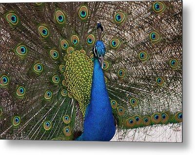 Peacock Strut Metal Print by Gwen Vann-Horn